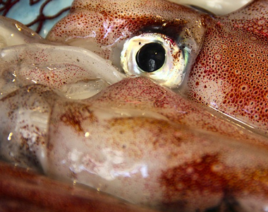 Niveles elevados de cadmio en calamar entero congelado procedente de Argentina.
